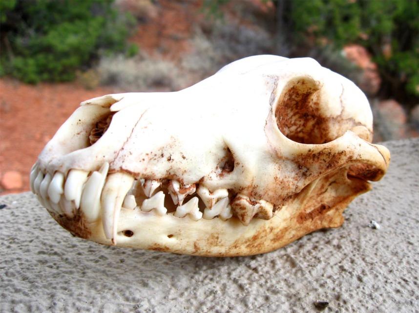 Coyote Skull | welcome